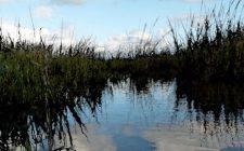 Landscape of fen grass growing through water
